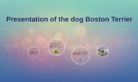 Copy of Presentation of the dog Boston Terry