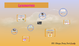 Copy of Lysosomes