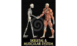 Copy of muscular and skeletal system