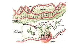 *Central Dogma - Protein Synthesis (4)