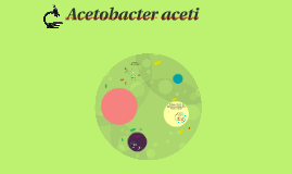Copy of Acetobacter aceti