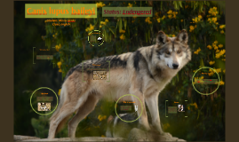 Mexican Wolf/Lobo Mexicano