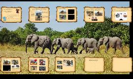 SOS - słówko o słoniach