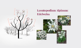 Copy of Edelweiss