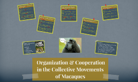 Cooperation in the Collective Movements of Macaca
