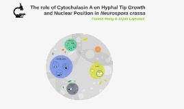 The role of Cytochalasin A on Hyphal Tip Growth and Nuclear