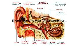 Copy of El oido humano
