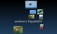 andrew's frigatebird
