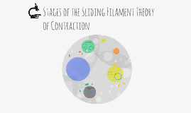 Stages of the Sliding Filament Theory of Contraction