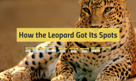 How the Leopard Got Its Spots