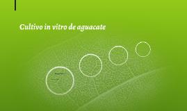 Cultivo in vitro de aguacate