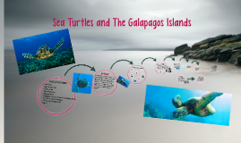 Sea Turtles In The Galapagos