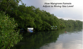 How Mangrove Forests Adjust to Rising Sea Level