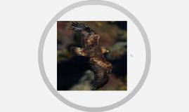 Golden Eagle Conservation