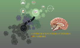 Copy of CONFIGURACION INTERNA Y EXTERNA DEL CEREBRO