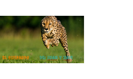 guepardo