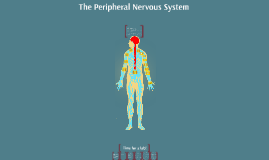 Copy of Peripheral nervous system
