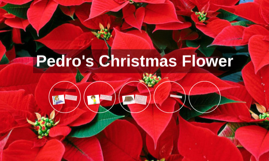 Pedro's Christmas Flower
