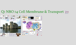 Q1 NBO 13 Cell Membrane & Transport