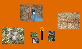 Identification of the coniferous trees in Magailia, California.