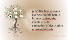 piggyBac transposons expressing full-length human dystrophin