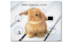 rabbit digestion