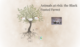 Copy of Animals at risk: the Black Footed Ferret