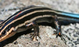 Copy of Five-lined Skink