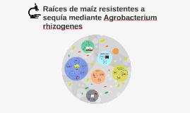 Raíces de maíz resistentes a sequía mediante Agrobacterium r