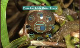 Class Amphibia: Order Anura