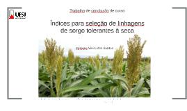 Índices para seleção de linhagens de sorgo tolerantes à seca