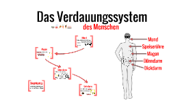 Das Verdauungssystem des Menschen