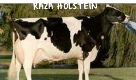 RAZA HOLSTEIN