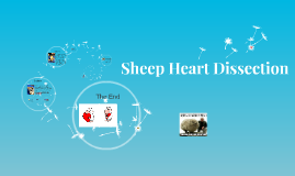 Copy of Sheep Heart Dissection