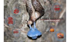 Limax maximus è il nome scientifico della lumaca terrestre s