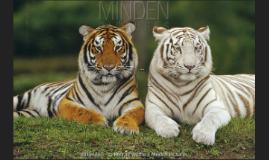 Evan's tigers