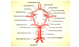 Circulacion cerebral