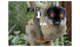 Copy of lemurs