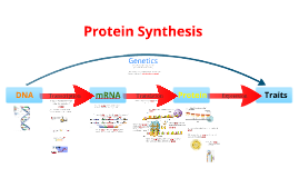 Copy of Protein Synthesis