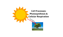 Copy of Photosynthesis and Cellular Respiration