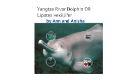 Chinese River Dolphin/ Whitefin River Dolphin