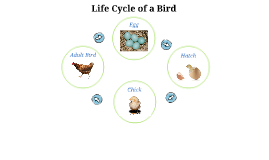 Copy of Life Cycle of a Bird