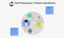 Cell Processes: Protein Synthesis