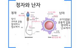 17.3-4-15. 사람의 생식세포(정자와 난자)