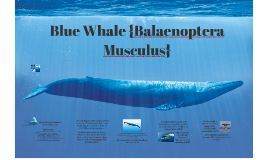 Blue Whale {Balaenoptera Musculus}