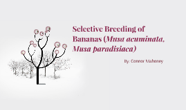 Copy of Selective Breeding of Bananas