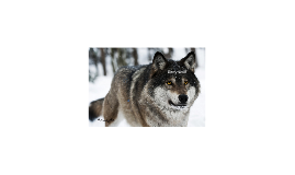 Copy of Timber wolf