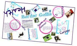 Selective Breeding Project- Border Collie