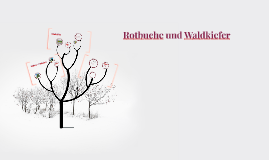 Rotbuche und Waldkiefer by Johanna Gö on Prezi