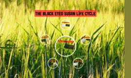 The black eyed susan life cycle